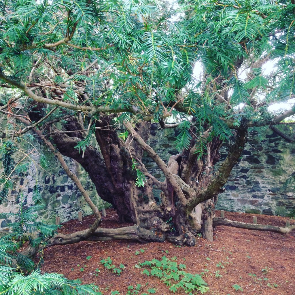 Fortingall Yew Perthshire