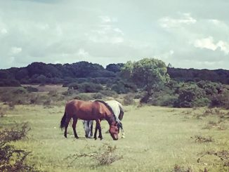 New Forest wild ponies